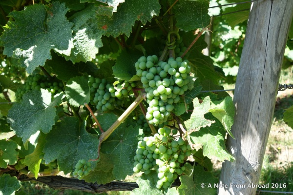 The grapes were gorgeous, but not quite ripe yet