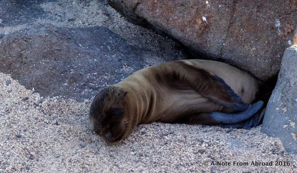 Baby Sea Lion, approximately 4 weeks old