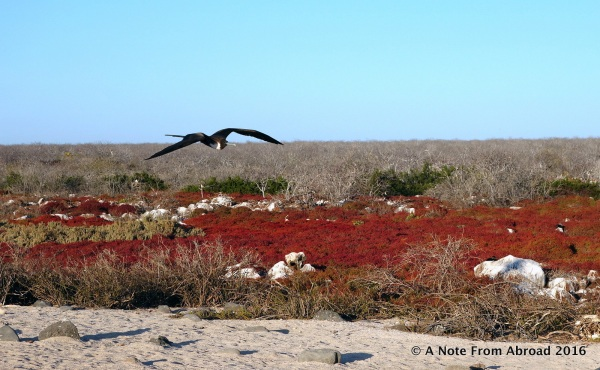 Frigate bird over colorful but sparse terrain