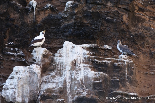 Nazca and Blue-footed Booby