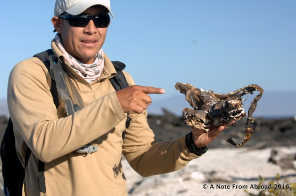 Our guide extraordinaire, Roberto, showing us the skeleton of a Marine Iguana