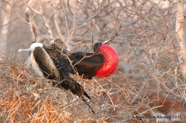 Male frigate bird on the right