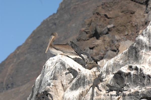 Brown Pelican and many Marine Iguanas on the rocks