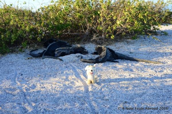 A very rare Galapa Gus sighting...
