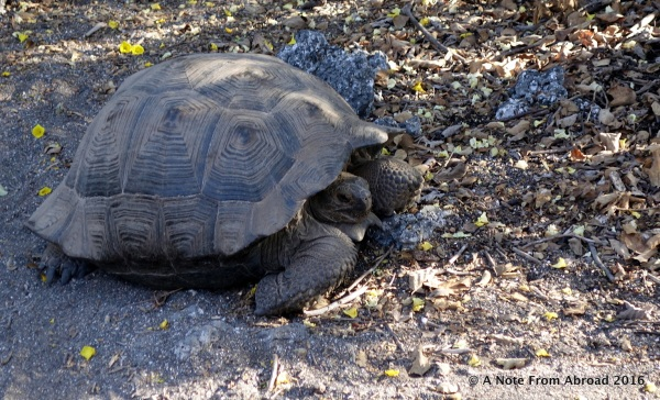 Our first Giant Galapagos Tortoise