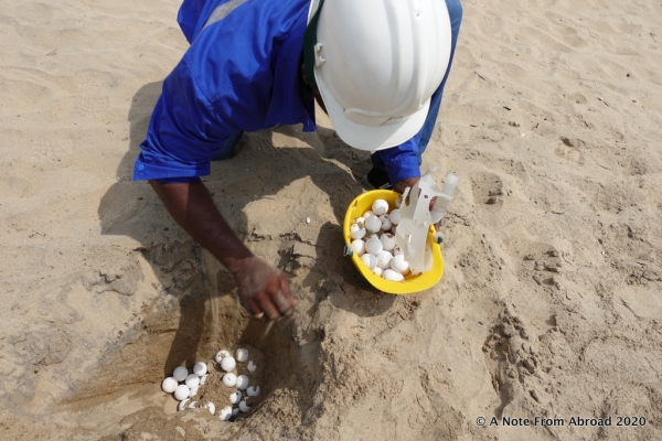 Relocating turtle eggs in a construction helmet